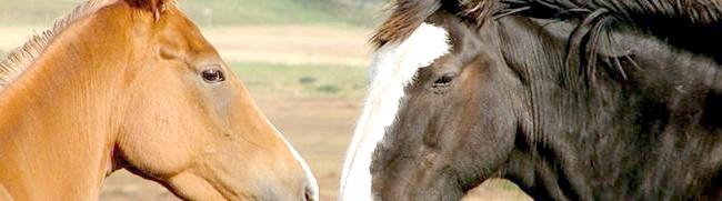 Дві коні, picsdesktop.com