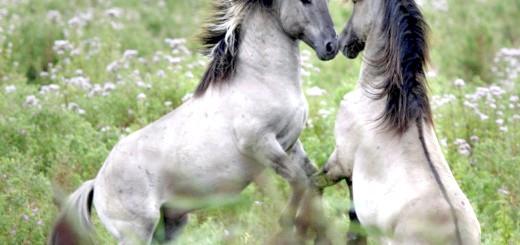 Дві коні грають на лузі, files.homepagemodules.de