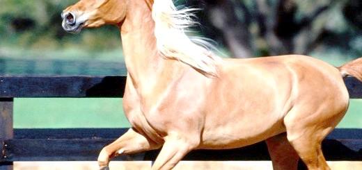 Фотографія коней золотистого забарвлення, pics2.pokazuha.ru