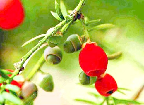 Тис ягідний, Taxus baccata, шишкоягоди