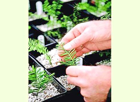 Тисс, Taxus, вирощування живцями