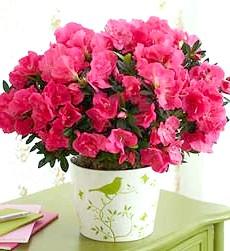 Як домогтися цвітіння азалії?