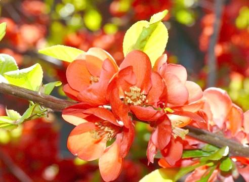 Хеномелес, цвітіння, Сhaenomeles