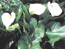 Білі кали: розмноження