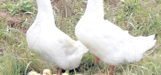 Благоварского качки з каченятами, inkubator-yug.ru