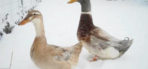 Зображення м'ясних порід качок, ferma-biz.ru