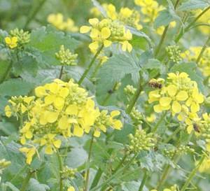 гірчиця, як сидерат: користь і вирощування