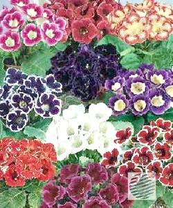 Чудова глоксиния - догляд в домашніх умовах за екзотичною квіткою амазонки
