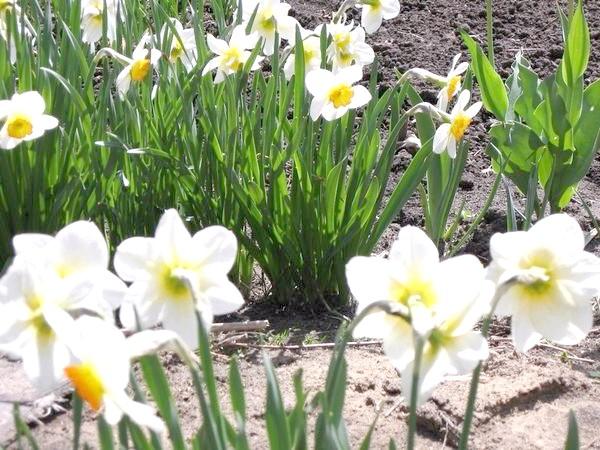 весняні квіточки