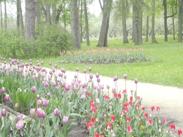 тюльпани в Спаському