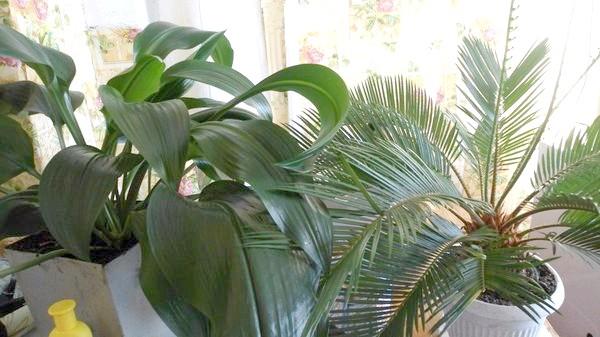 Цикас, сагова пальма і Амариллис або кімнатна лілія