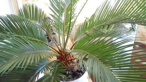 Цикас, він же сагова пальма