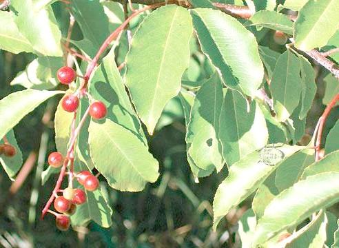 Черемуха пізня, Padus serotina, ромова вишня
