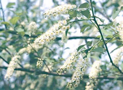 Черемуха віргінська, Padus virginiata