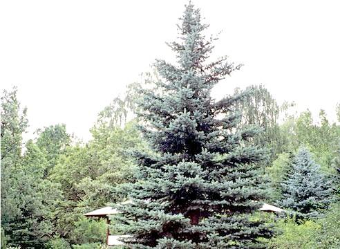 Ялина колюча Хопсі, Picea pungens Hoopsii