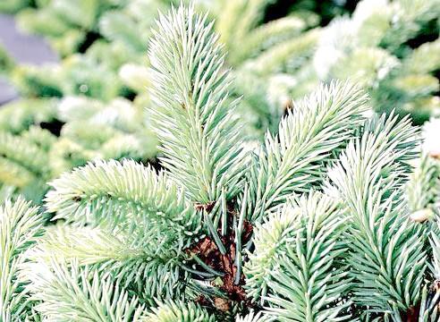 Ялина колюча форма Глаука Глобоза, Picea pungens f glauca globosa