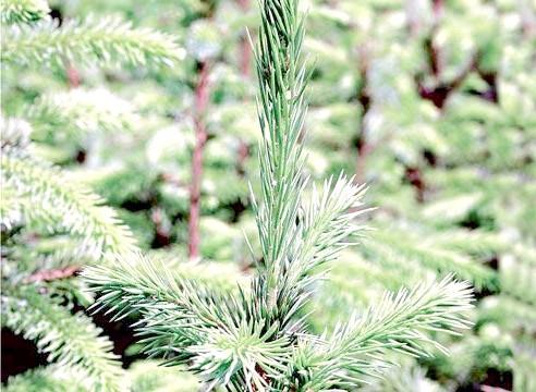 Ялина сербська, Picea omorica