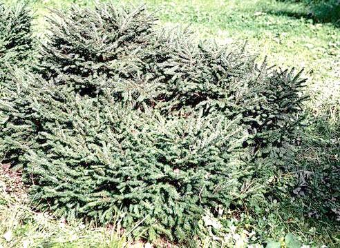 Ялина звичайна, ф гнездовідная, Picea abies f nidiformis