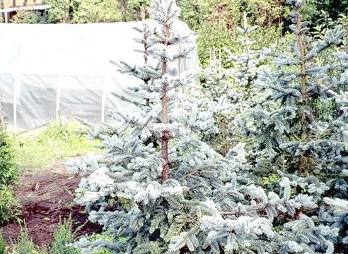 Ялина Енгельмана, ф Глаука, Picea engelmanii f glauca