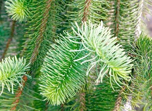 Ялина звичайна, Picea abies, сорт Virgata