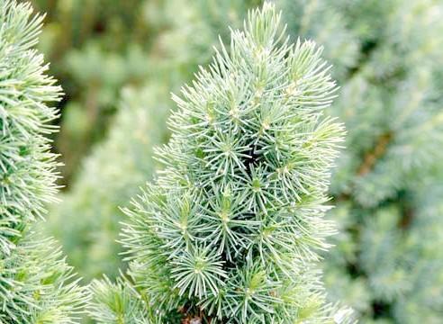 Ялина біла, Picea glauca, сорт Conica