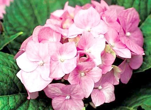 Гортензія крупноквіткова, цвітіння