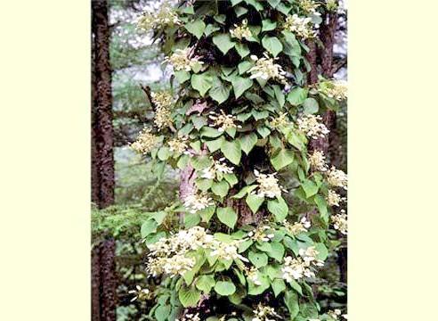 Гортензія черешкова, цвітіння