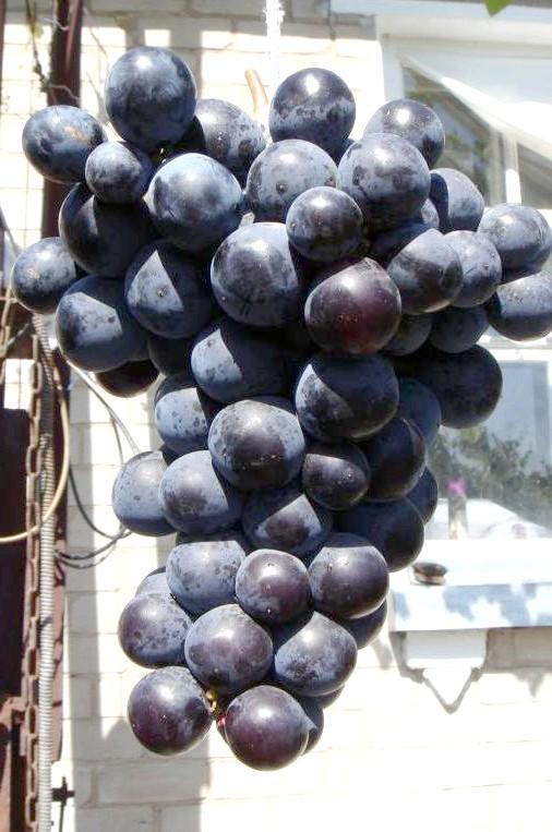 Сорт винограду Айдар