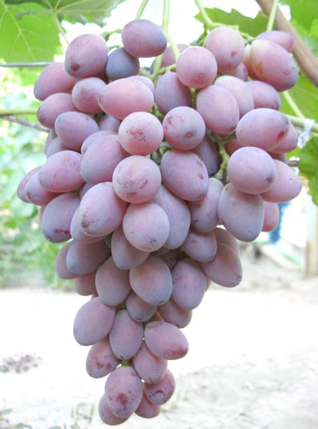 Сорт винограду Ася