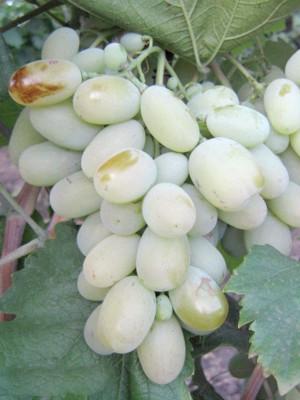 Виноград Бежевий
