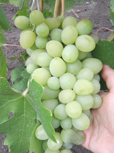 Виноград Благовіст