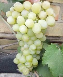Сорт винограду Болгарія