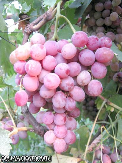 Виноград Фламінго
