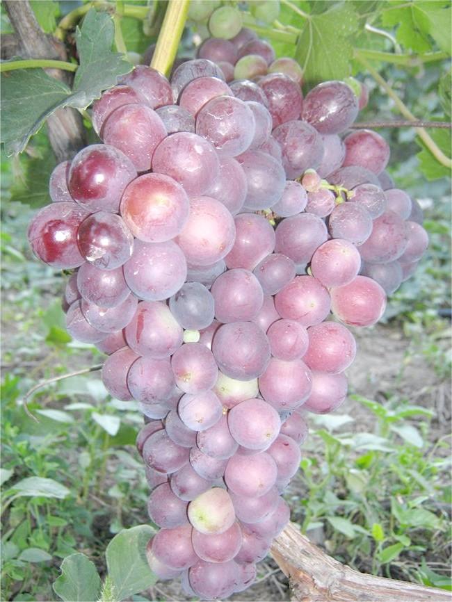 Сорт винограду Імпульс