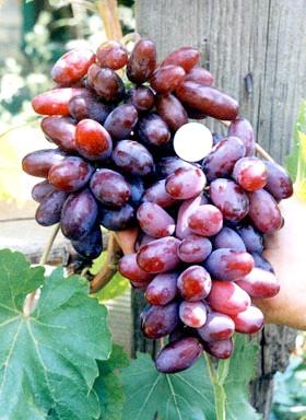 Сорт винограду Родзинка