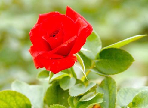 Роза групи флорибунда, сорт Diadens