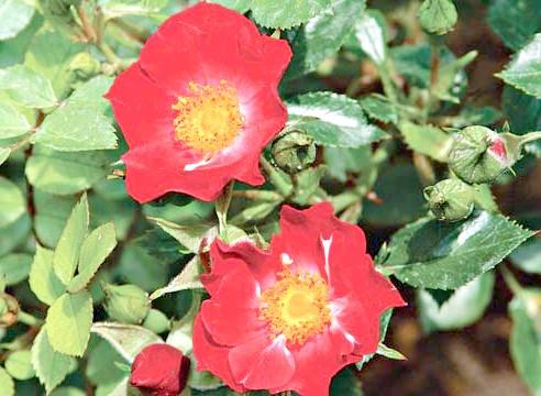 Роза, група шрабов, сорт Bassino