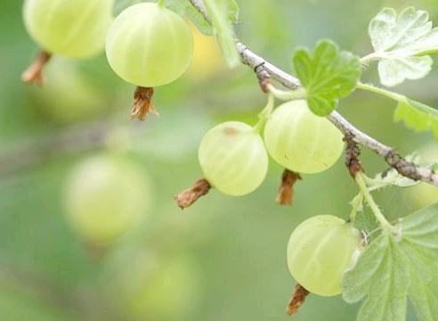Аґрус, ягоди