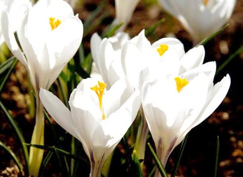 Крокус, квіти