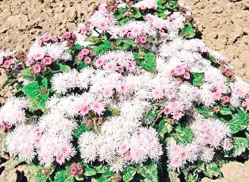 Агератум, сорт Pink Beauty