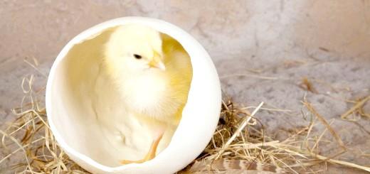 Курча в яйці, bestfon.info