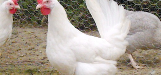 Несучки Ломан Браун, woodside-farm-chickens.webs.com