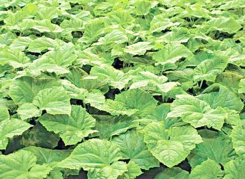 Огірок, молоді рослини на грядці, Cucumis