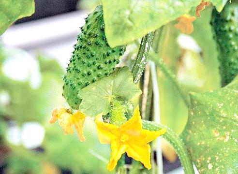 Огірок, квіти і зав'язі, Cucumis