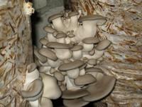 Вирощування в саду, будинки, грибів маслюків