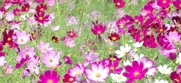 Фото - Чудова квітка космея для вашого саду