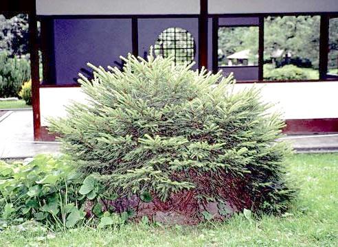 Ялина звичайна, ф пуміла, Picea abies f pumila