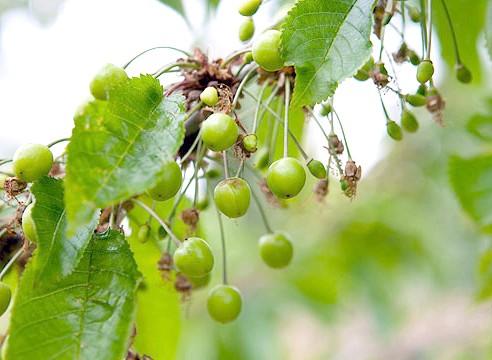 Черешня, зелені плоди