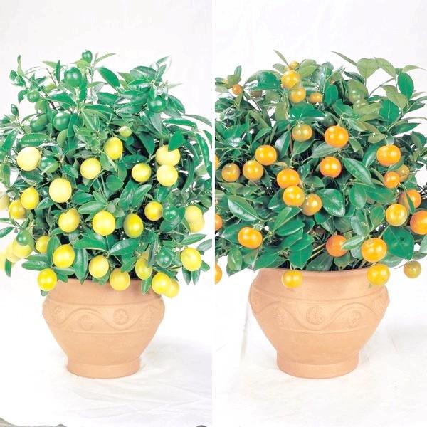 декоративне лимонне і апельсинове дерево