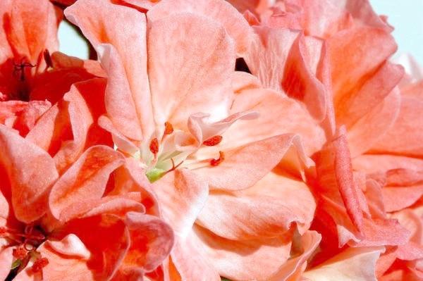 квітки червоної пеларгонії
